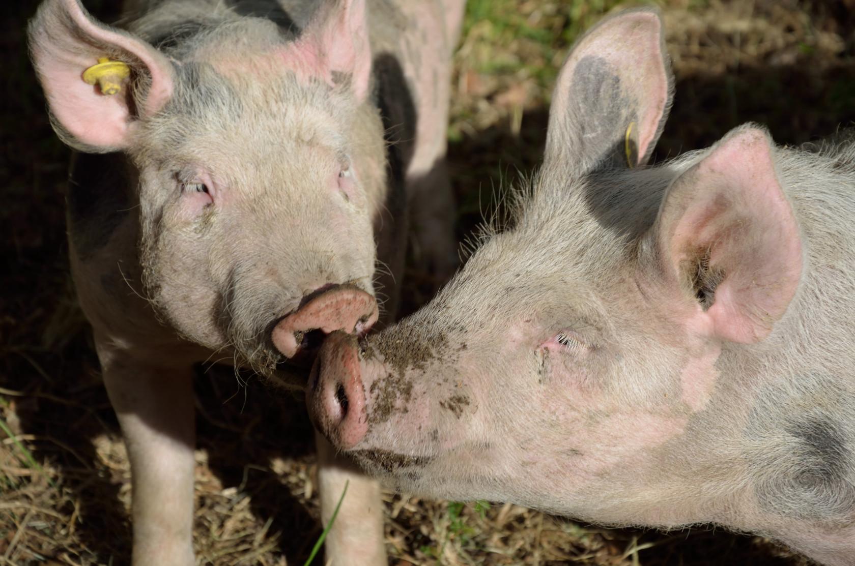 Les cochons prennent le grand air